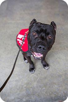 Dog For Adoption Hector A Cane Corso Pit Bull Terrier Mix In