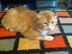Teddy Tabby Cat
