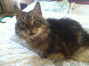 Sheena Domestic Medium Hair Cat