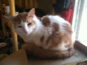 Bertie Domestic Medium Hair Cat