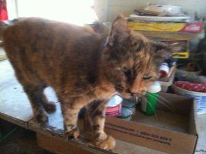 Sister Dilute Tortoiseshell Cat