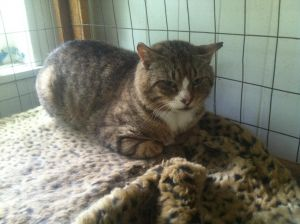 Rocky is a nice calm cat He is a big solid boy very healthy He gets along wit