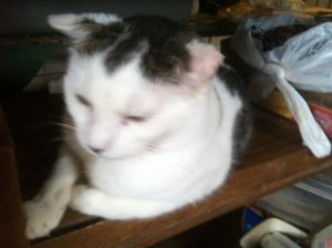Cheeky is a sweet cat He likes being independent Tested negative for felvfiv and microchipped co