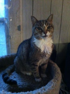 Sonny is a very loving affectionate cat Tested negattive for felvfiv contact Heart and Hand Socie