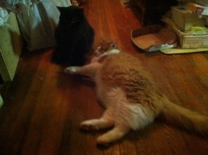 Pepper is a semi socialized cat that gets along well with other cats Tested negative for felvfiv