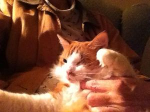 Tommy is a very loving and handsome cat He is missing his left eye Tested negative for felvfiv an