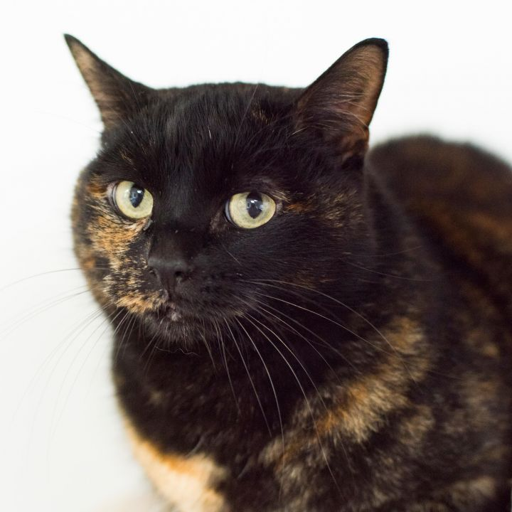 Tiger, an adopted Tortoiseshell in Fort Smith, NT