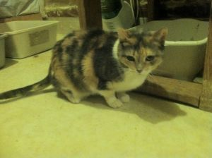 Lily is a sweet affectionate cat Tested negative for felvfiv and microchipped contact Heart and H