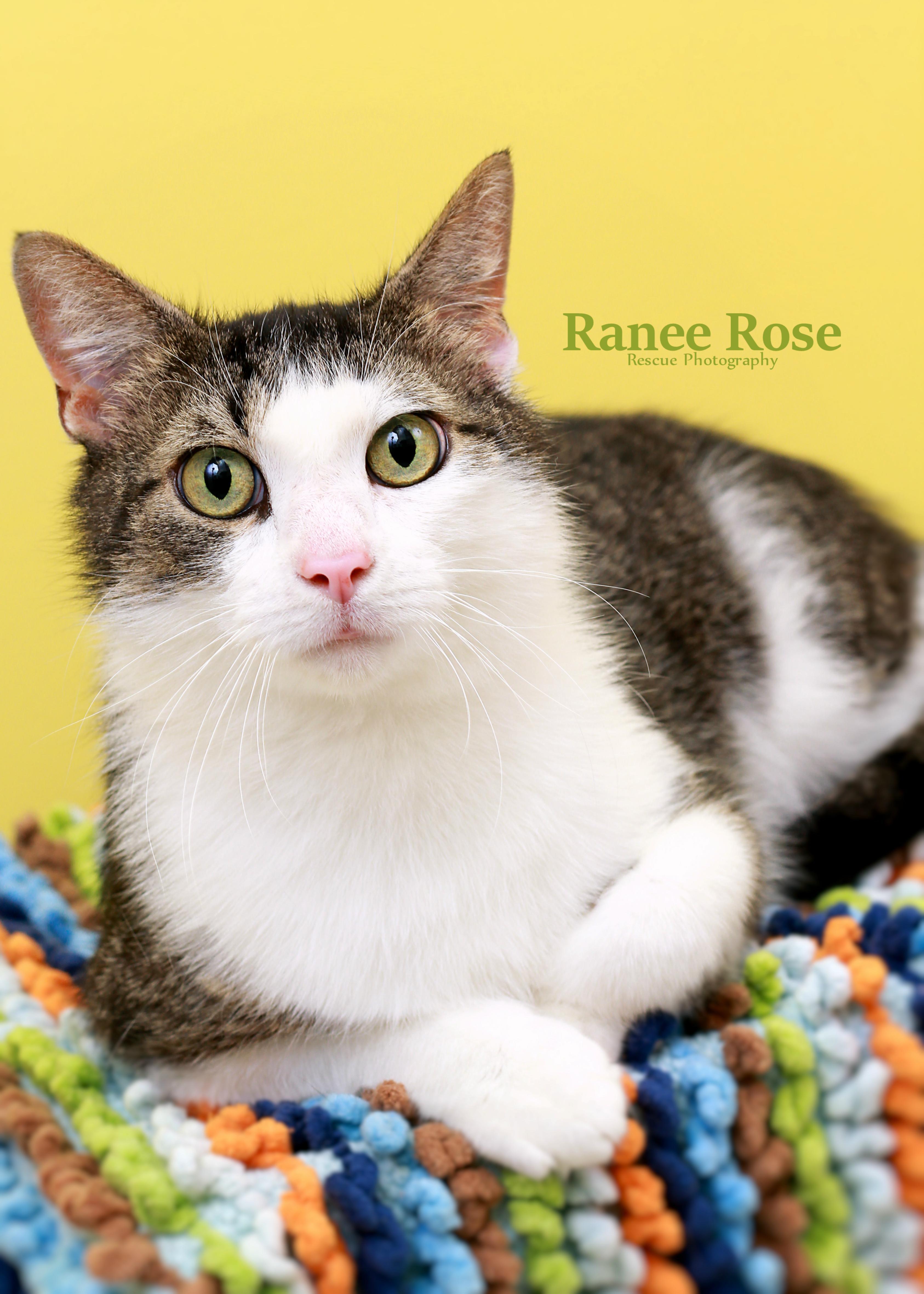 Cat for Adoption – Echo, near Sterling Heights, MI | Petfinder