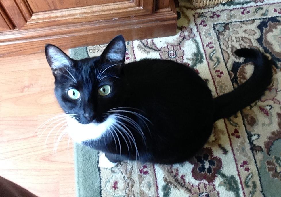 Cat for Adoption – LUNA (FA), ...