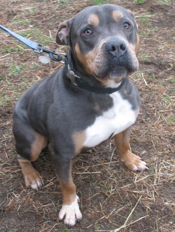 Bruiser, an adopted Rottweiler & Pit Bull Terrier Mix in Port Jervis, NY