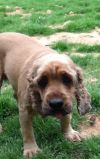 Cocker Spaniel Dog: Bob