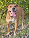 American Staffordshire Terrier Dog: Tyler