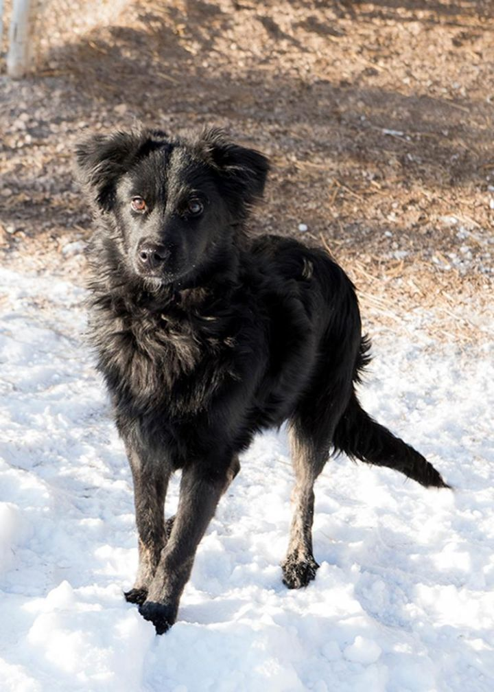 Raven, an adopted American Eskimo Dog & Affenpinscher Mix in Fort Smith, NT