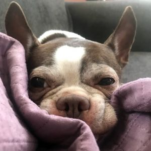 Get off my lawn is quintessential Mini- a loving Boston Terrier who was adopted from us several y