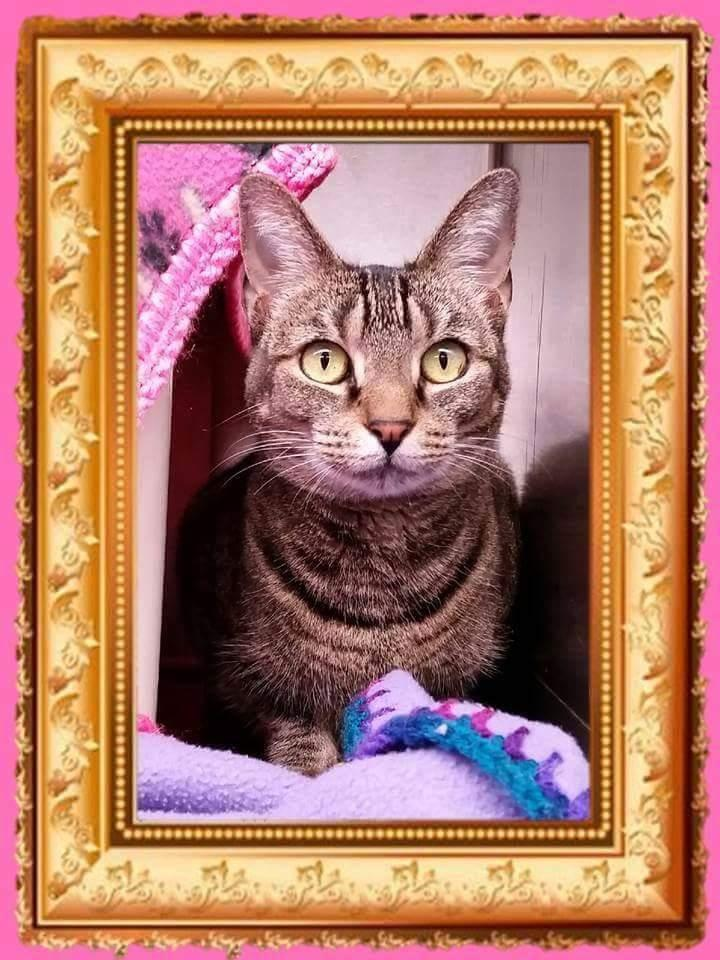 Cat For Adoption Petie Girl The Diva Near Edison Nj Petfinder