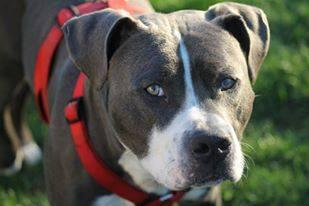 Blue, an adopted American Staffordshire Terrier in Blacklick, OH
