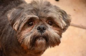 Alexx Harris Lhasa Apso Dog