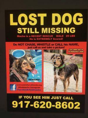 LOST Macho Mini Irish Terrier Dog