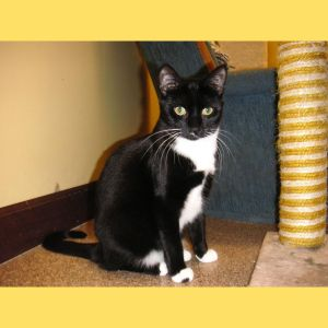 Lightning is a very pretty petite black and white tuxedo cat She was the last one of an all-female