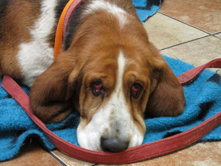 Barney, an adopted Basset Hound in Keizer, OR