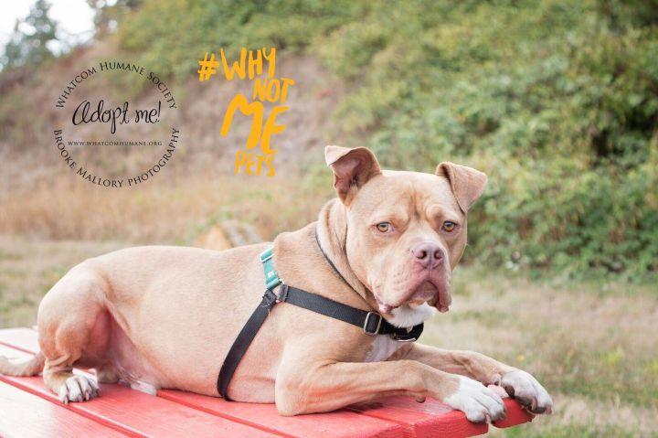 Nacho, an adopted Pit Bull Terrier Mix in Bellingham, WA