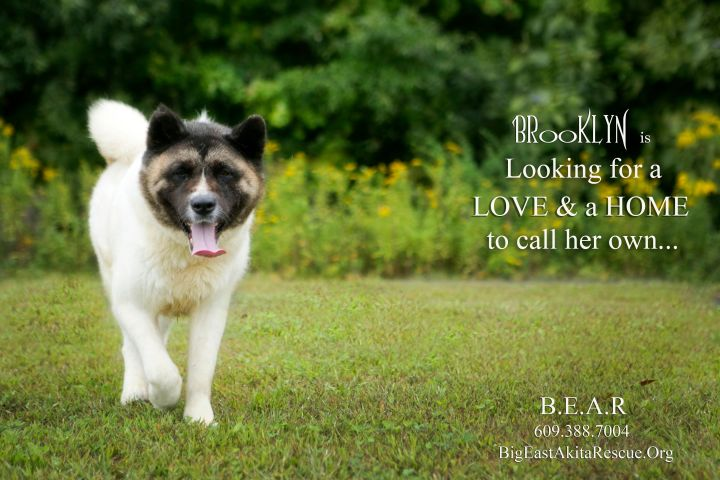 Brooklyn, an adoptable Akita in Toms River, NJ