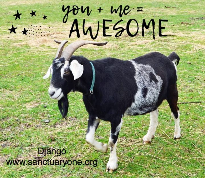 Django, an adoptable Goat in Jacksonville, OR