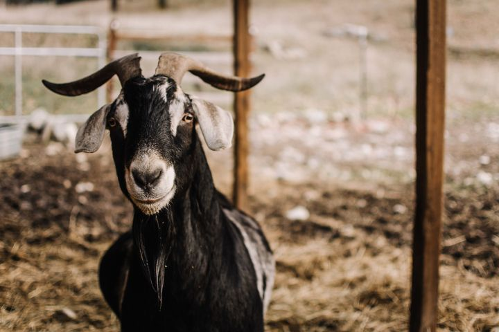 Django, an adoptable Goat in Jacksonville, OR_image-6