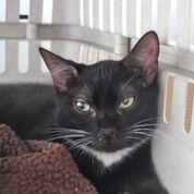 Chili Tux kitty Domestic Short Hair Cat