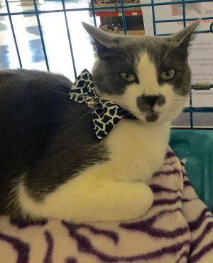 Peggy Domestic Short Hair Cat