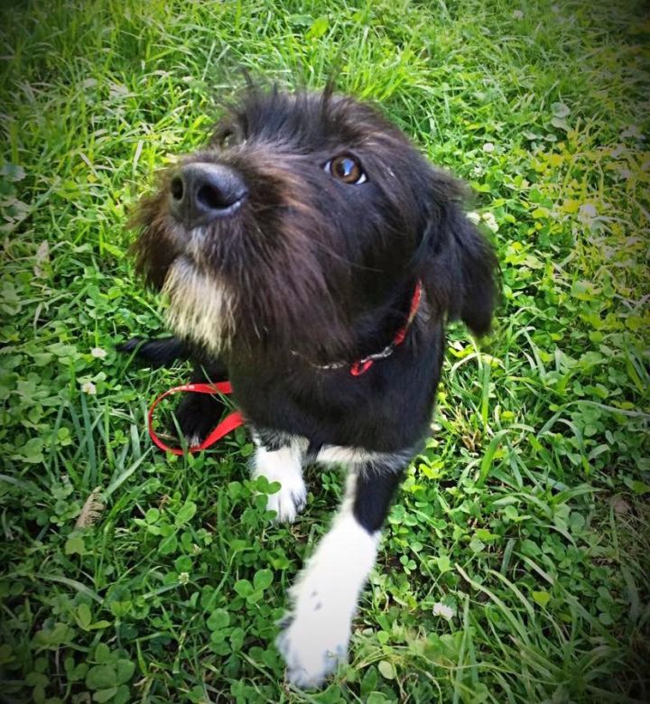 Beasley, an adopted Wirehaired Terrier Mix in Murray, KY