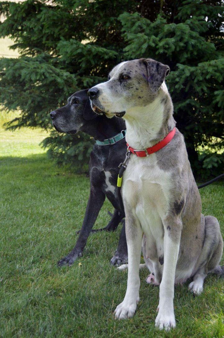 Great Dane puppies 1