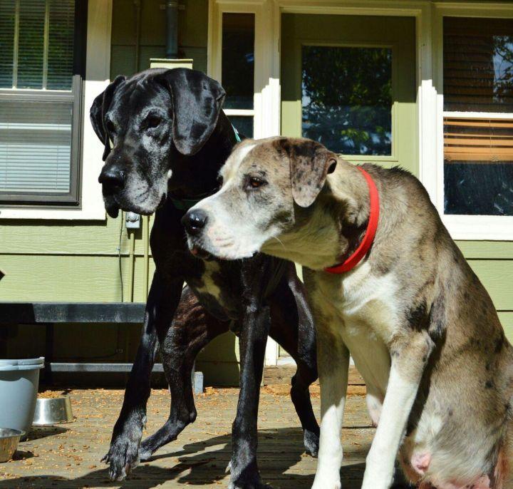 Great Dane puppies 2