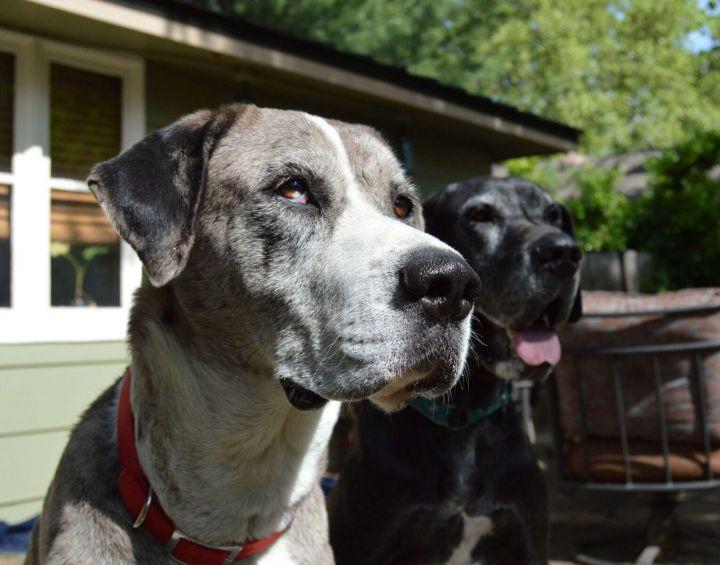 Great Dane puppies 3