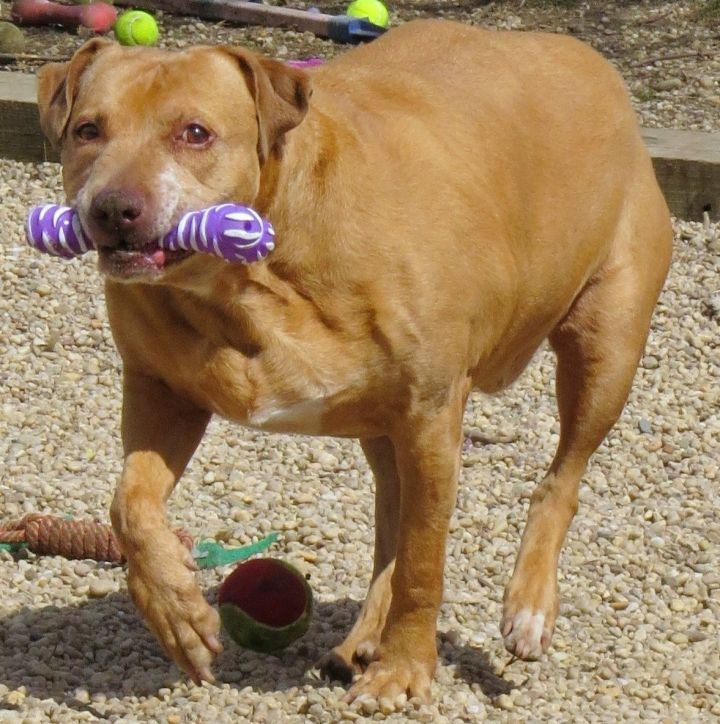 16-239 Lindsy, an adopted Pit Bull Terrier & Retriever Mix in Amityville, NY