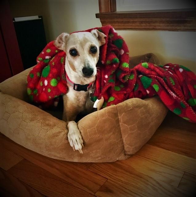 Luna, an adopted Italian Greyhound in Charlotte, NC_image-1
