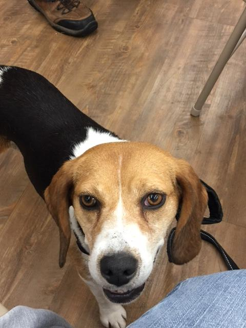 Sonny & Cher, an adopted Beagle in Fulton, NY