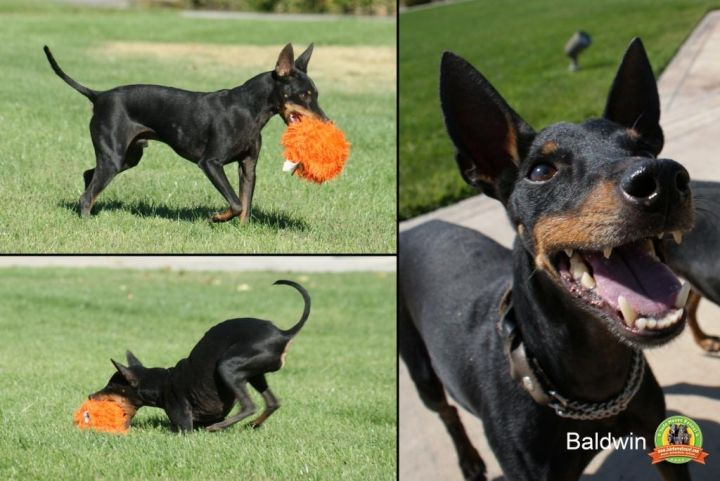 Baldwin (10yr old going deaf), an adopted Manchester Terrier in YERINGTON, NV_image-2