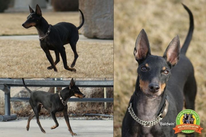 Baldwin (10yr old going deaf), an adopted Manchester Terrier in YERINGTON, NV_image-3