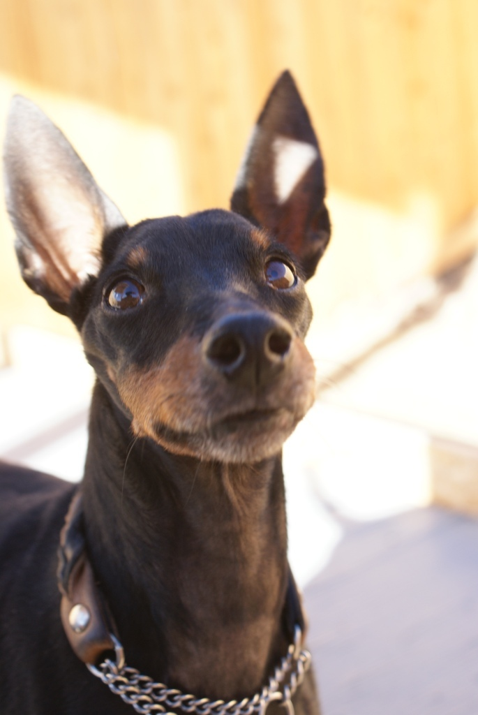 Baldwin (10yr old going deaf), an adopted Manchester Terrier in YERINGTON, NV_image-4