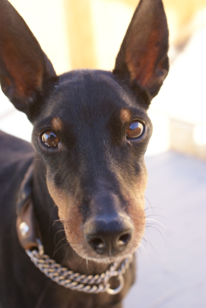 Baldwin (10yr old going deaf), an adopted Manchester Terrier in YERINGTON, NV_image-5