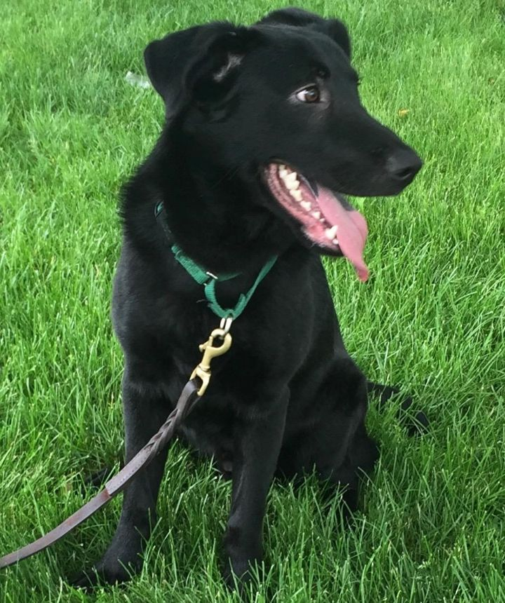 Rudy, an adopted Black Labrador Retriever & Shepherd Mix in New  Canaan, CT