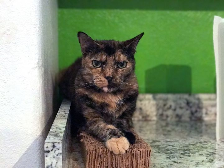 Lady Longcat, an adoptable Tortoiseshell in Los Angeles, CA