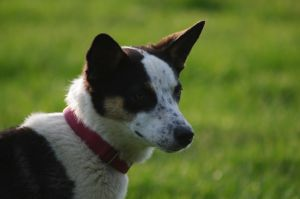 Syd - Sanctuary dog
