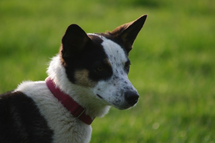 Syd - Sanctuary dog, an adoptable Border Collie Mix in Chestertown, MD