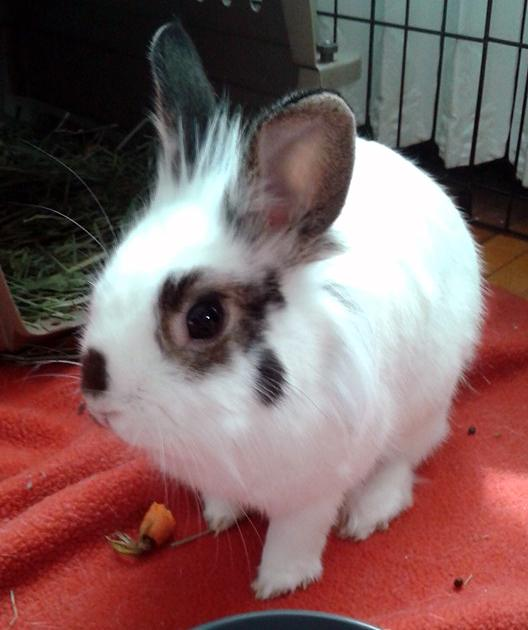 Arthur, an adopted Lionhead in Saint Paul, MN
