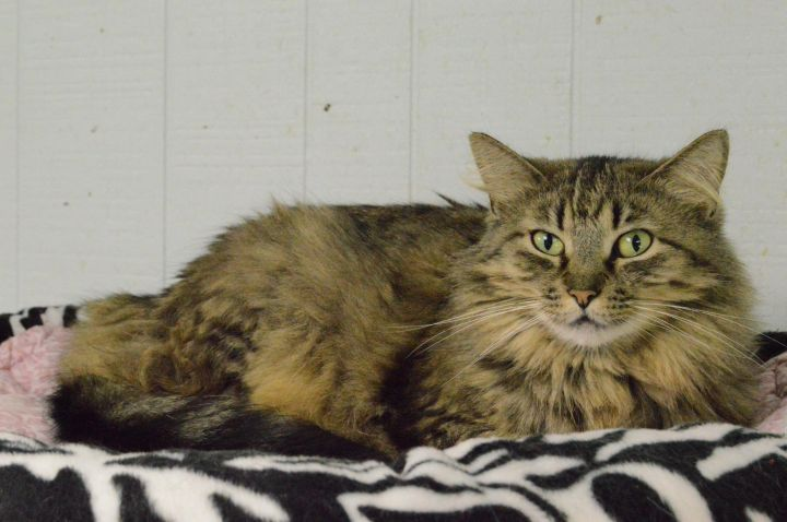 Cat for adoption - Juliet, a Maine Coon & Domestic Long Hair