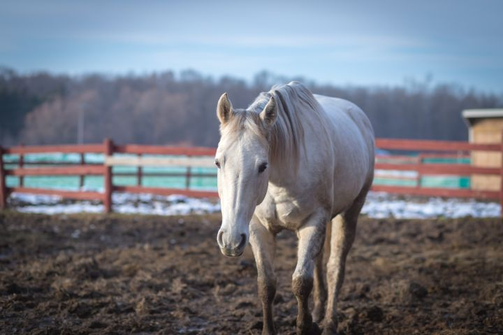 Grayce, an adoptable Quarterhorse in Elkhart Lake, WI