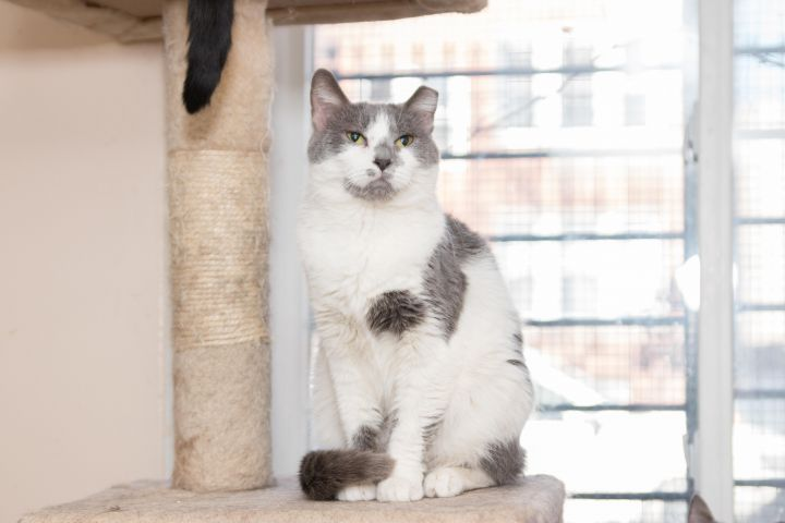Emily, an adoptable Domestic Short Hair in Chicago, IL